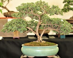 Image for Bonsai by the Beach